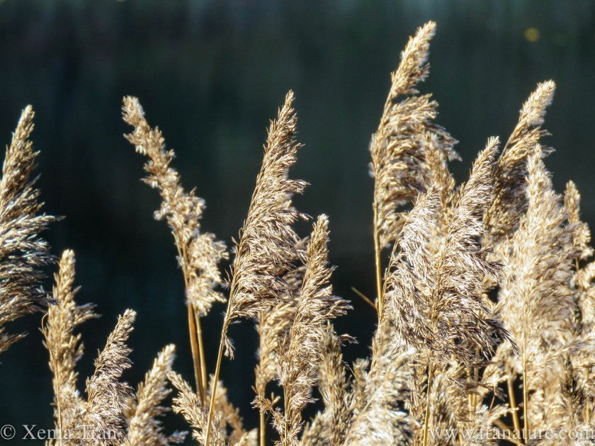 close up of tall reed along the loch shore