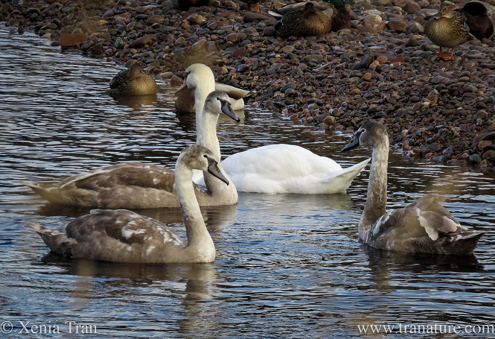 three five-month old cygnets and their mother on the river