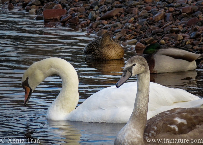 a five-months old cygnet and her mother on the river