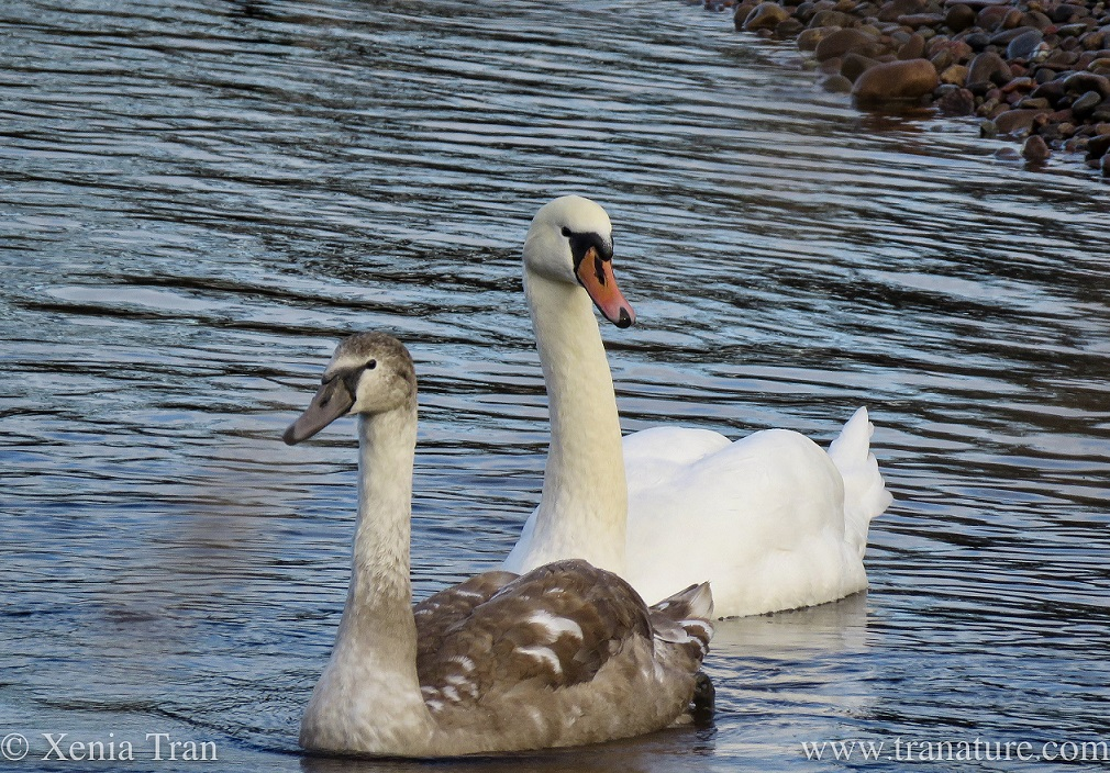 a five month old cygnet and her mother on the river