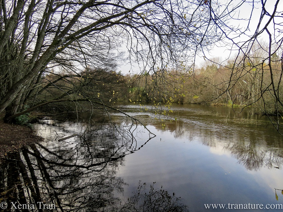 a woodland pond surrounded by leafless trees