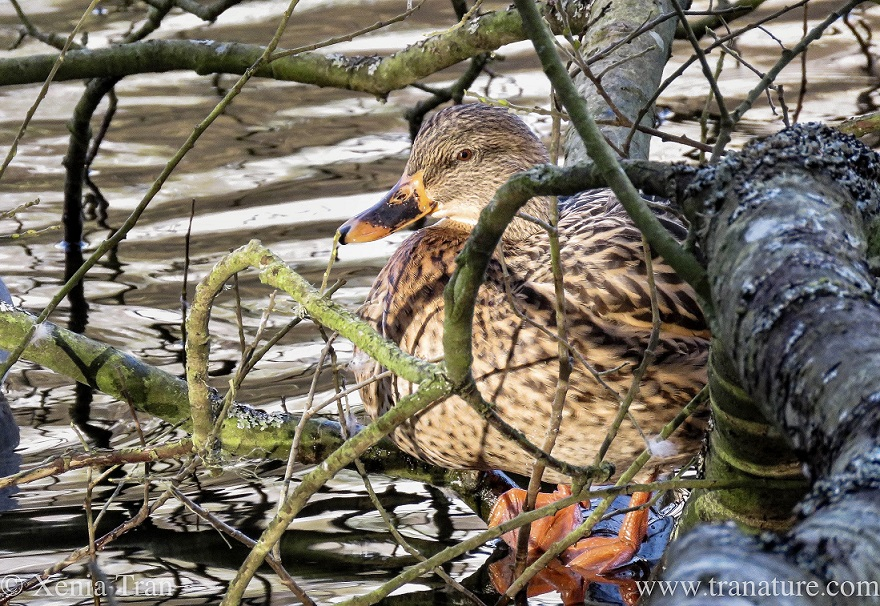 a female mallard duck on an overhanging branch above the water