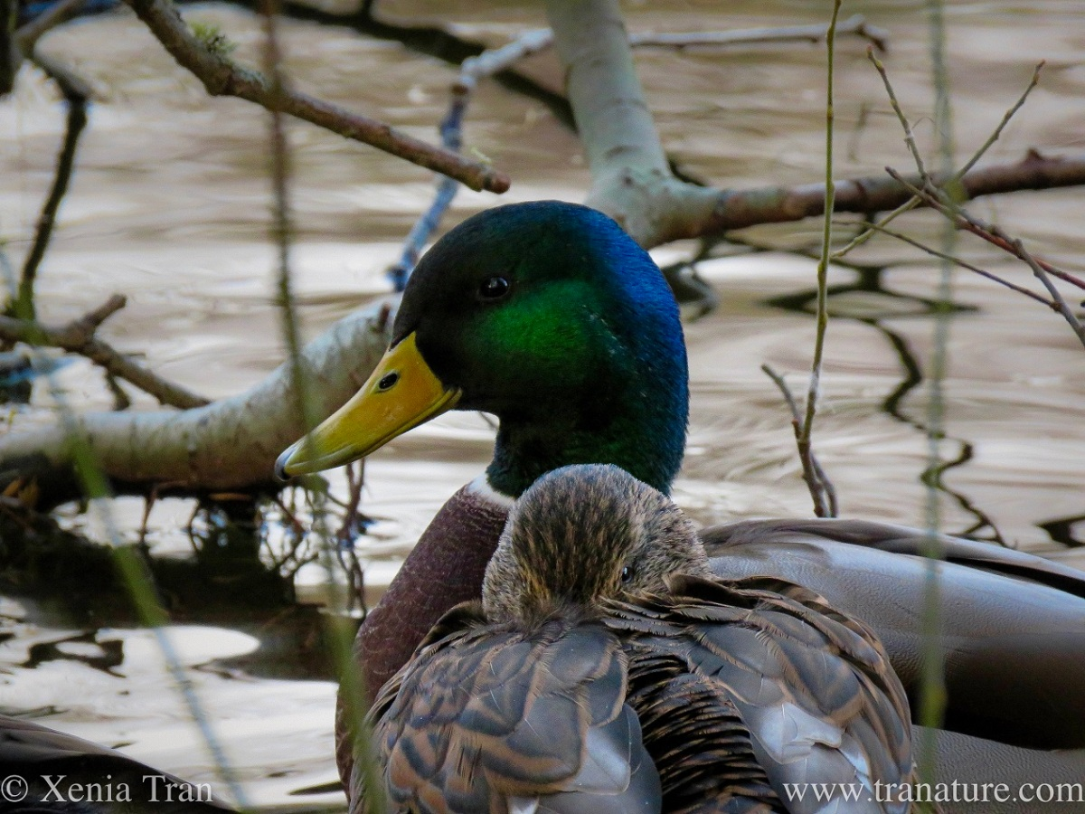a pair of mallard ducks on a bare branch overhanging the pond