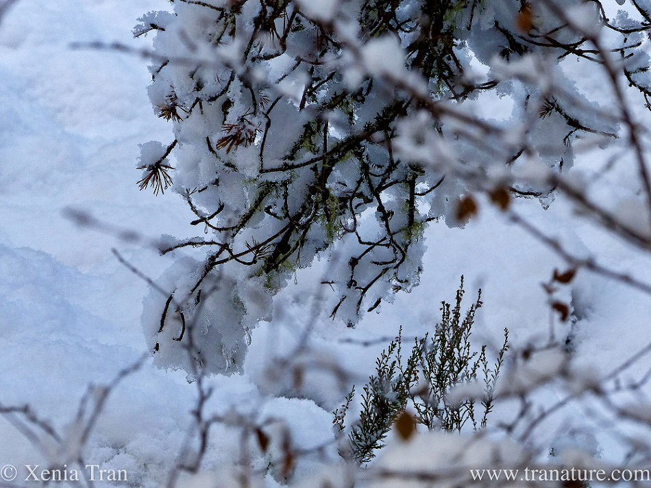 close up of branches and heather covered in heavy snow