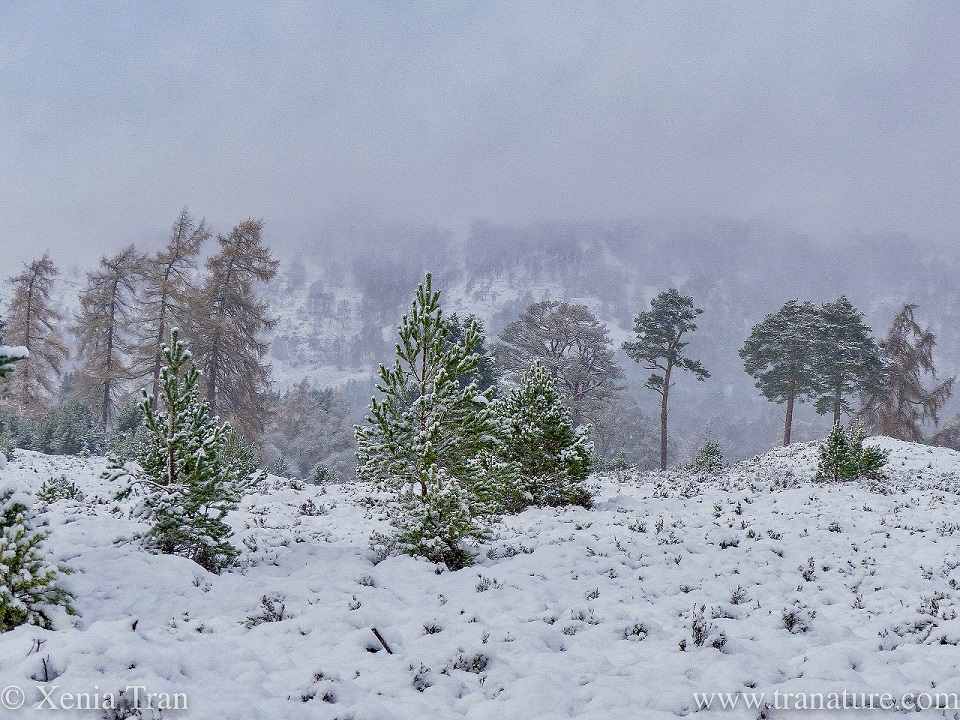 a snowy winter scene in the Cairngorms