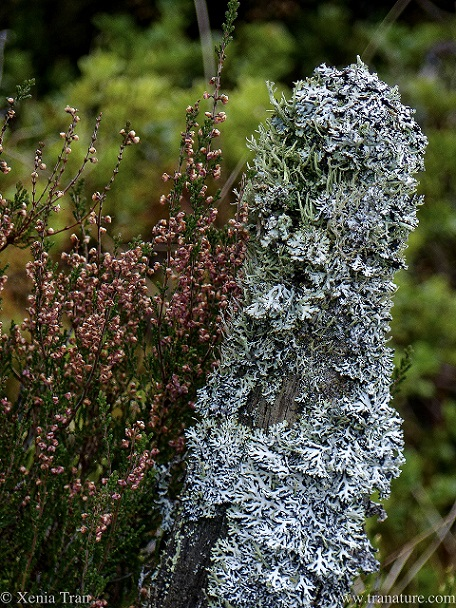 close up of autumn heather and lichen