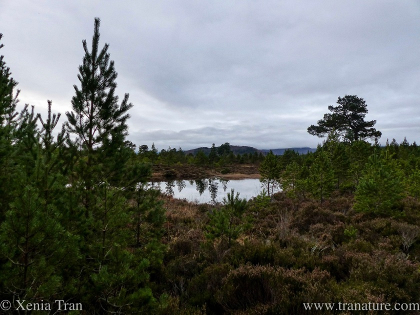fading heather and young and ancient pine around a small loch