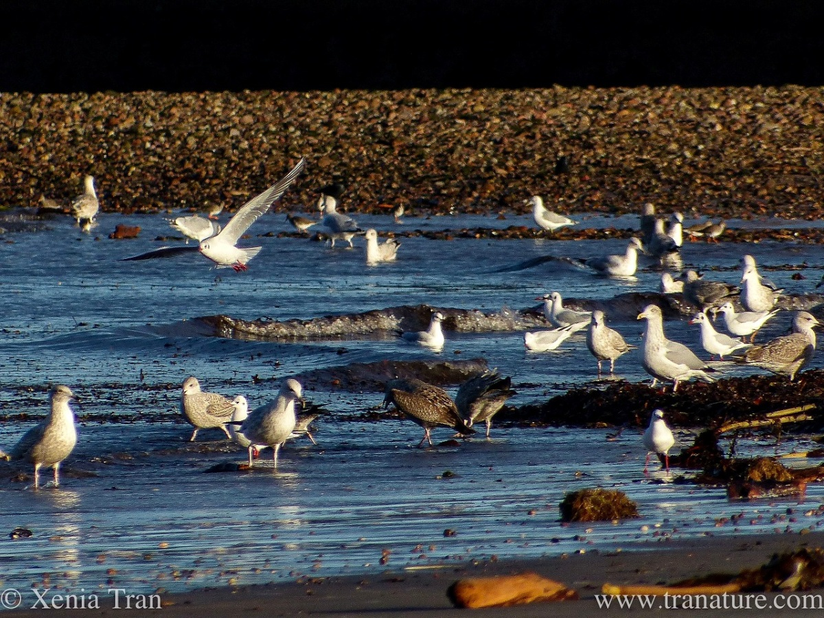 seagulls feeding in the surf beside the shingle