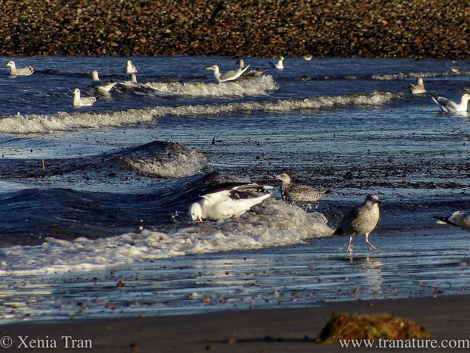 seagulls feeding in the surf