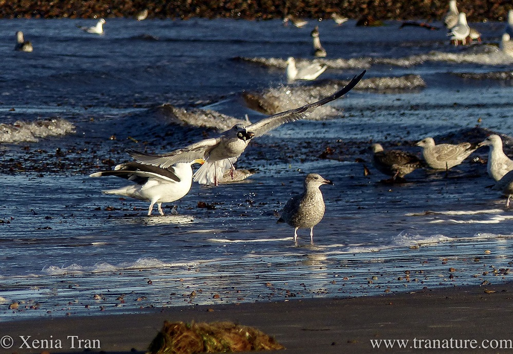 seagulls feeding in the surf
