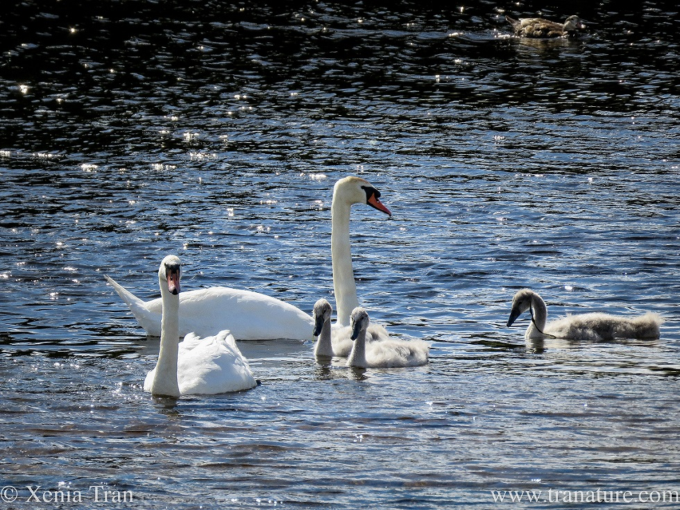 two swans with three young cygnets on the river