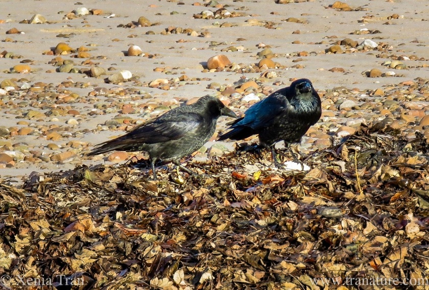 two crows on the beach near autumn leaves
