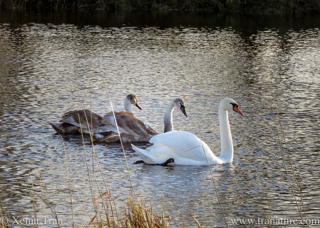 a cob followed by two of his cygnets on the river