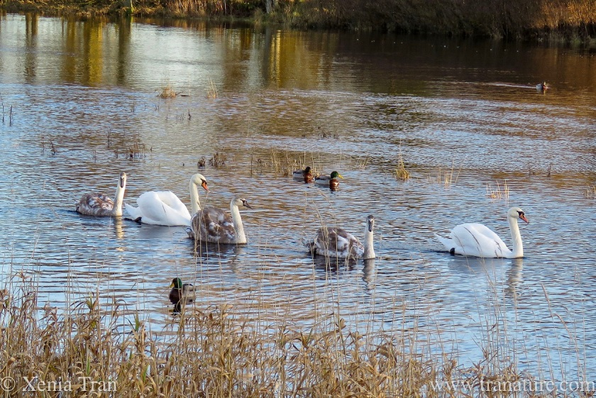 a swan family with three cygnets and ducks on the river