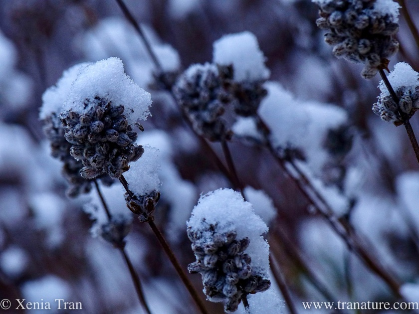 macro shot of snow-covered lavender