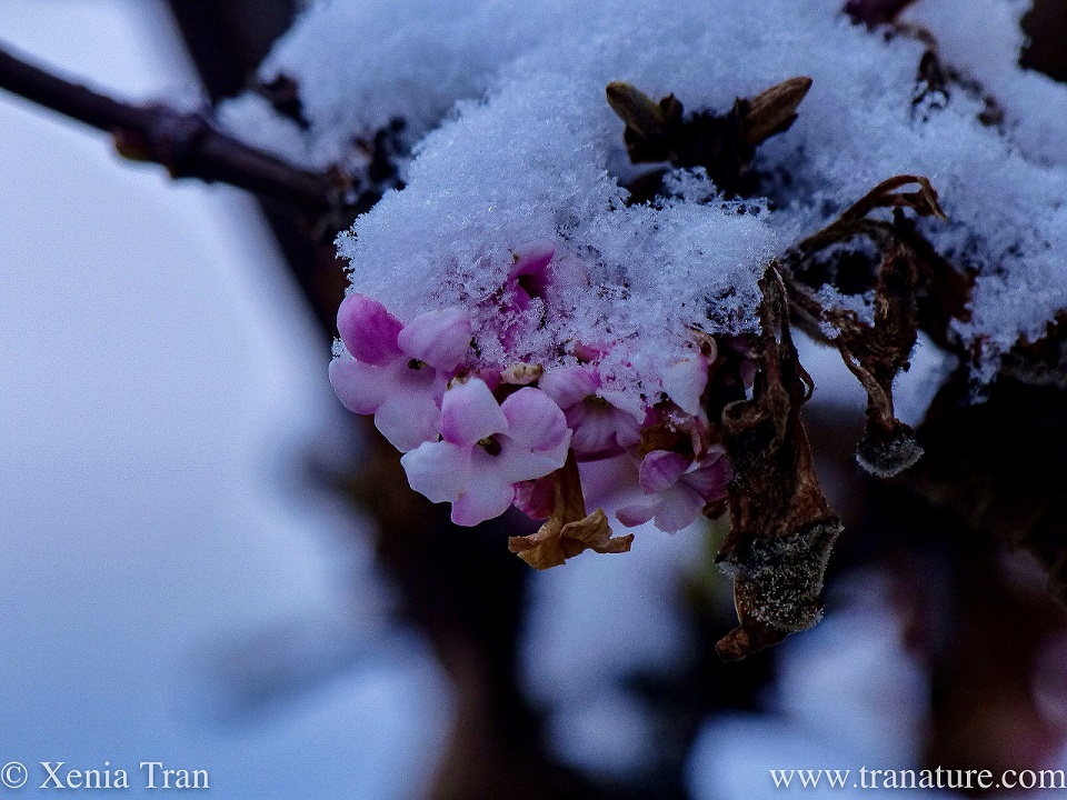 macro of snow-covered pink escallonia flowers