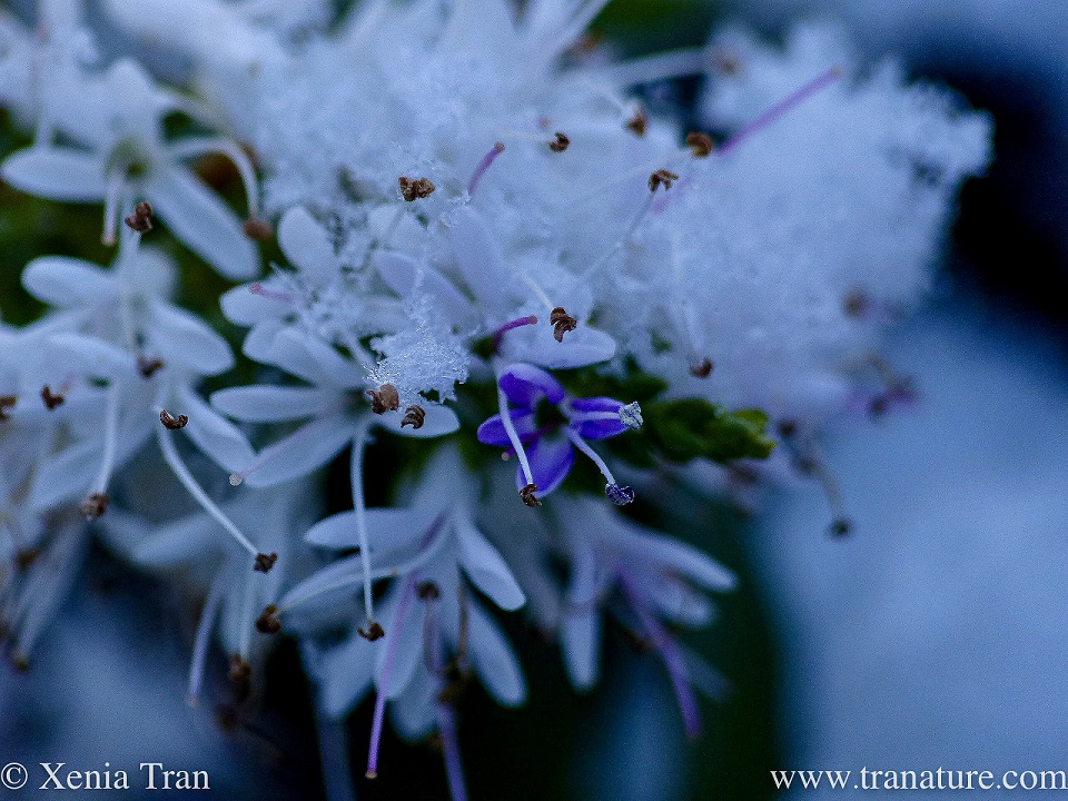 macro of white and lilac hebe flowers covered in snow