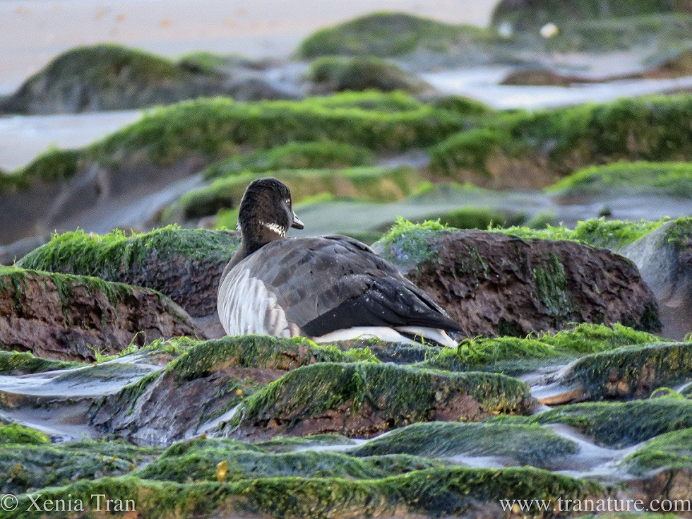 close up of a brent goose between tidal rocks