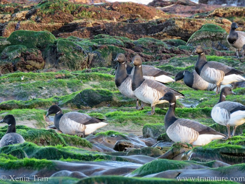 close up of part of a flock of brent geese on tidal rocks