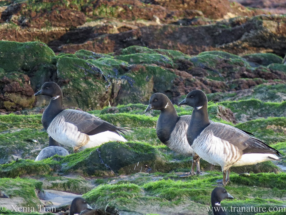 close up of three brent geese between tidal rocks