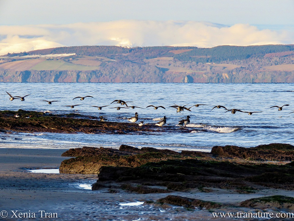 a small flock of brent geese approaching to land on the shore