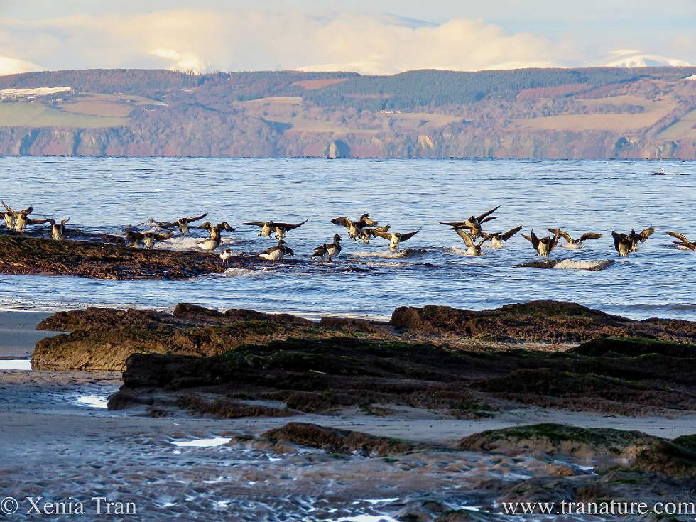 brent geese landing on the water near rocky outcrops