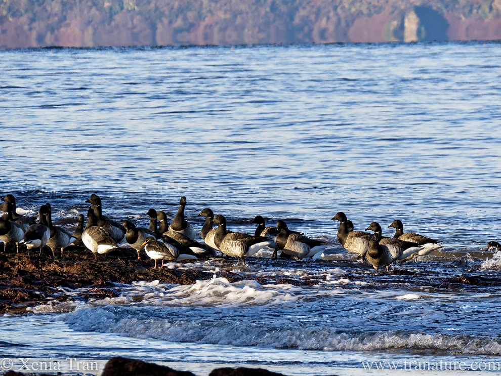 brent geese that have just landed make their way onto the rocky outcrops