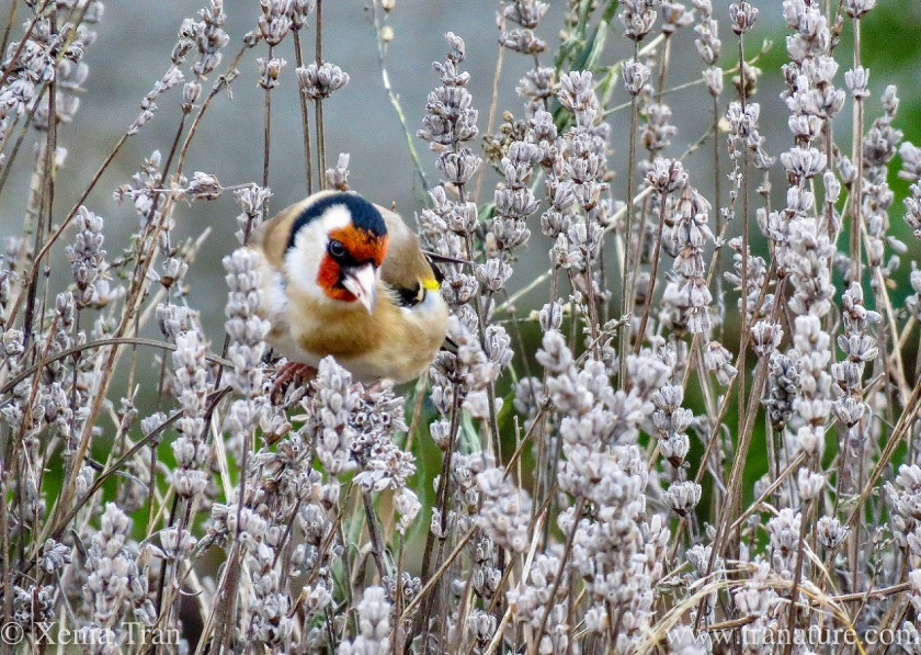 close up of a goldfinch munching on lavender seed heads in Winter