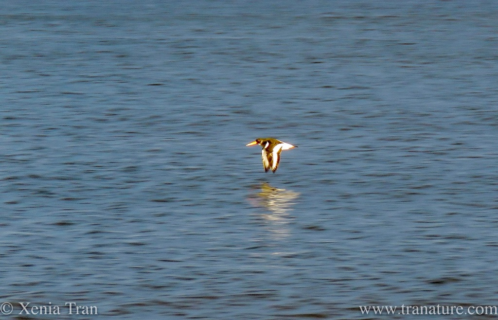 an oystercatcher in flight above the water