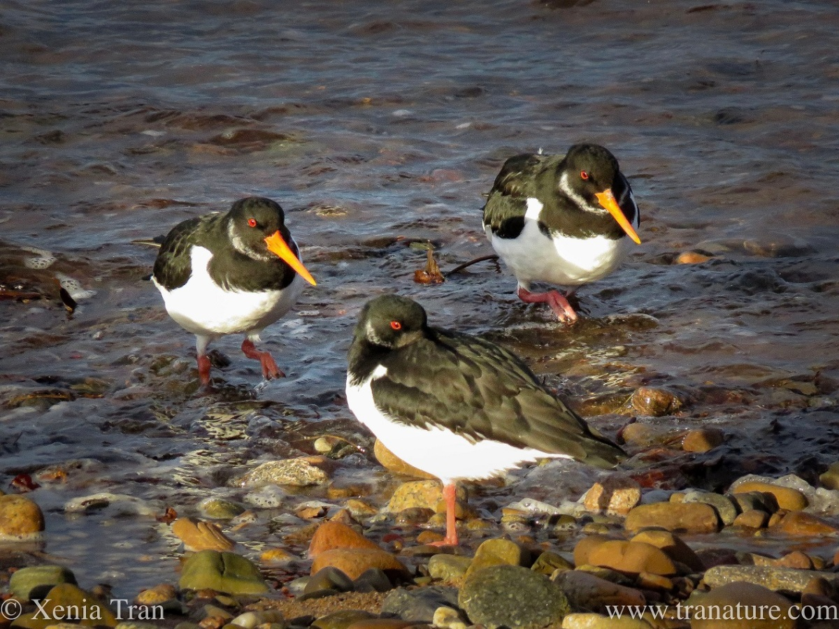 three oystercatchers near the tidal surf and shingle