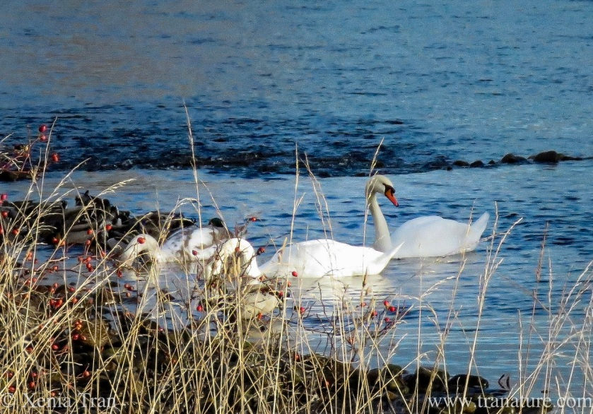 a swan family and mallard ducks feeding in a tidal river