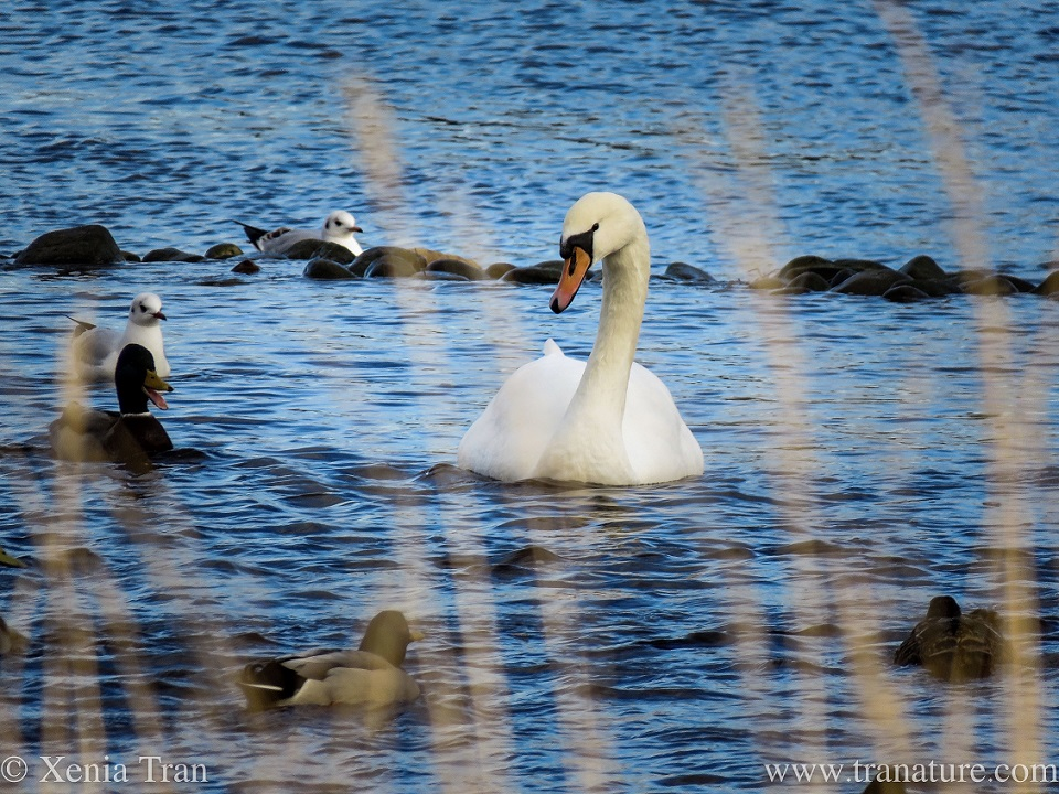 a female swan swimming in the shallows of a tidal river