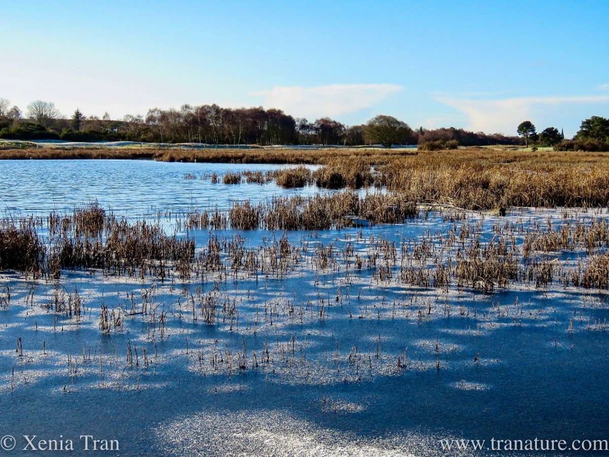 Wetlands and RSPB Reserve with frozen patches among the reeds