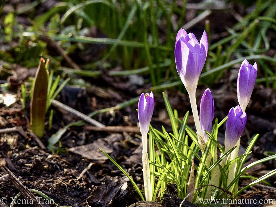 macro shot of purple crocus sprouting