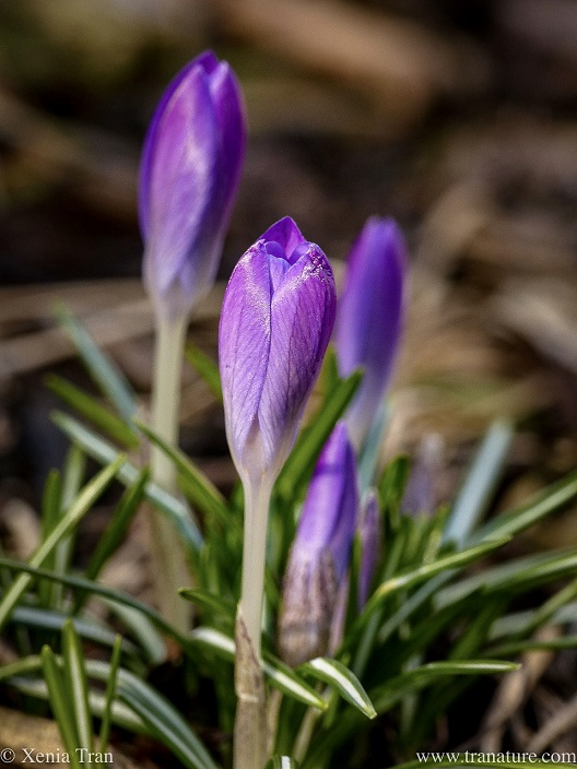 macro shot of purple crocus sprouting