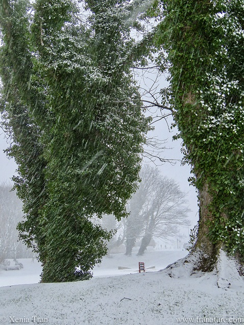 vine-covered trees in a park in a snow storm