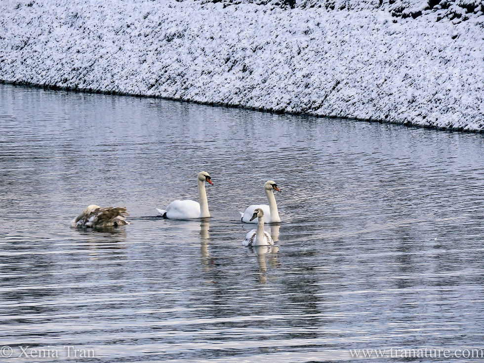 a swan family on a snowy river