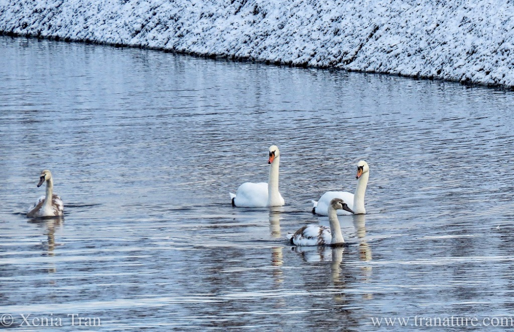 a swan family swimming towards us on the river in winter