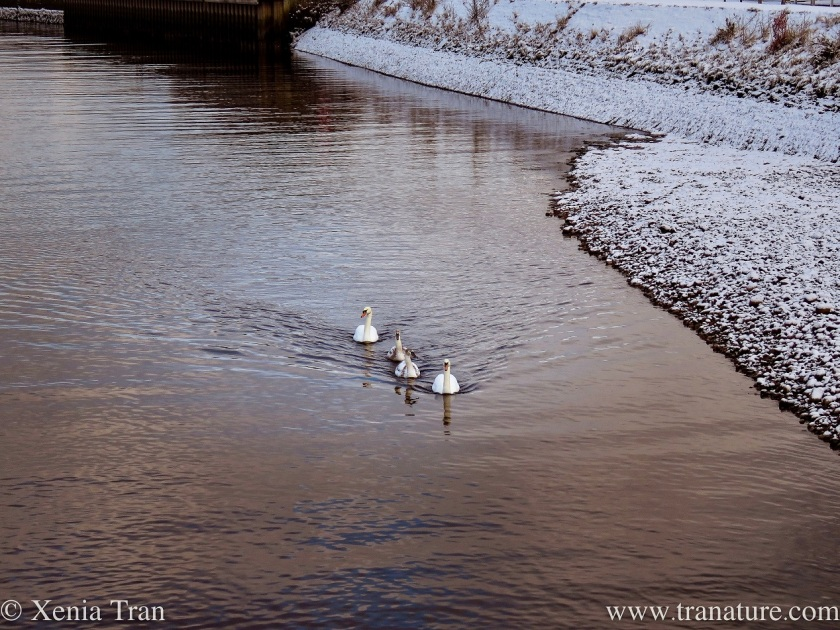 a swan family on the river in indian file with snow on the riverbank