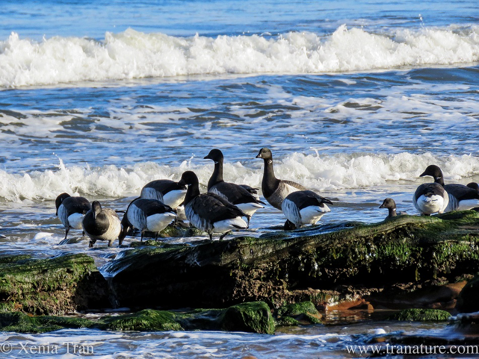 a flock of geese on seaweed-covered outcrops near the surf
