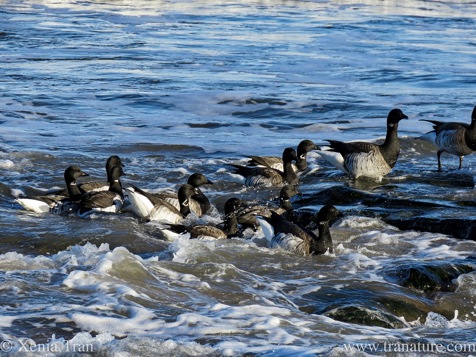 a flock of brent geese walking ashore from a choppy sea
