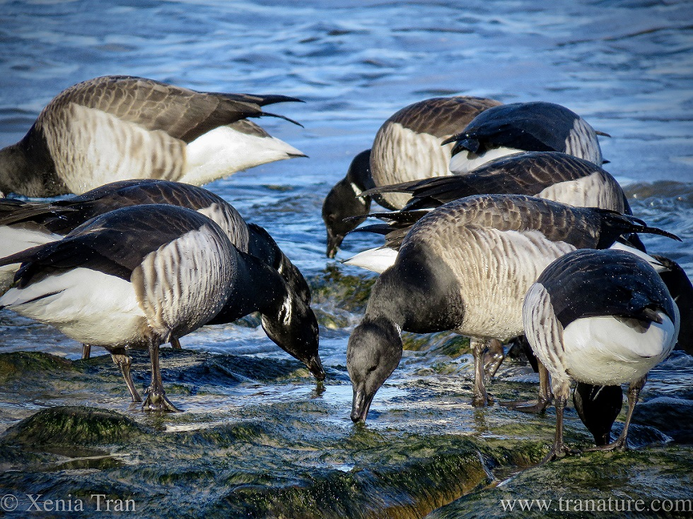 close up shot of brent geese feeding on seagrass in the surf