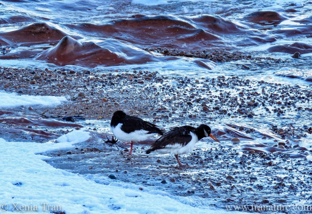 oystercatchers feeding on tidal sands with snow on the beach in the foreground