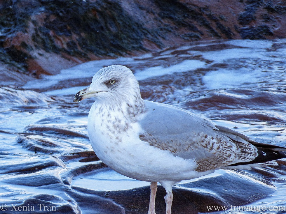 close up of a herring gull standing on a rocky outcrop