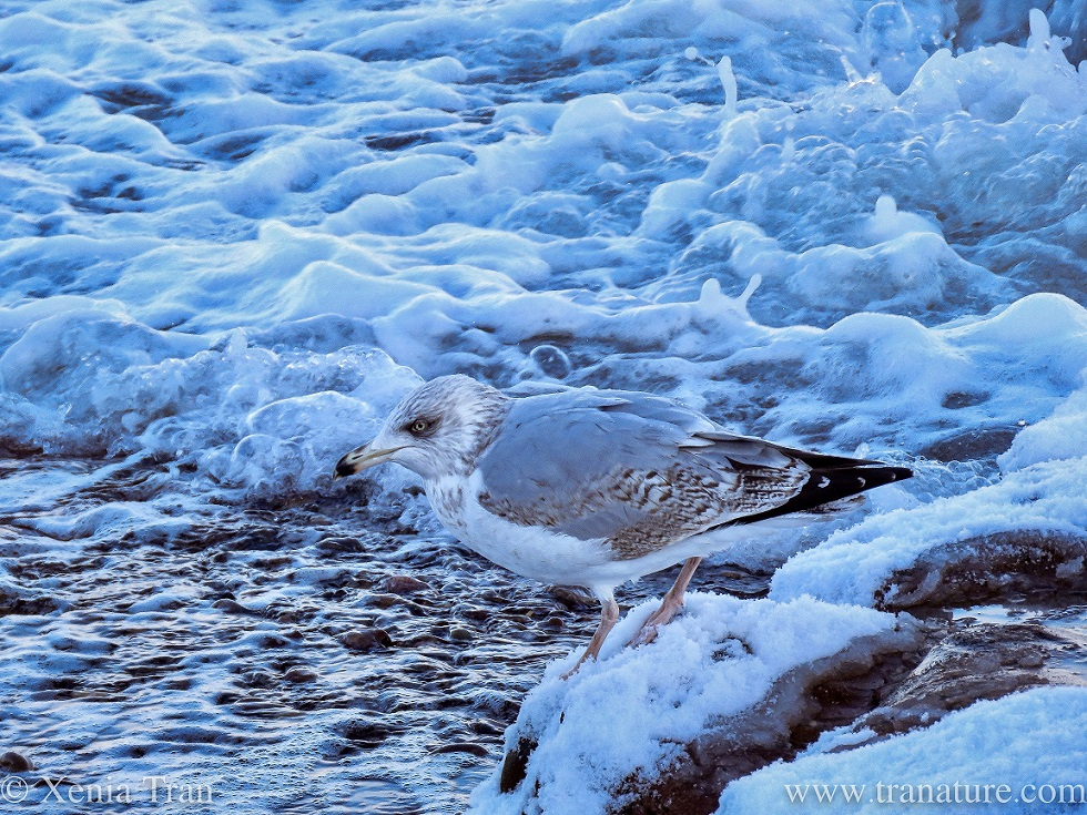 a herring gull leaning forward on a snow-covered rock