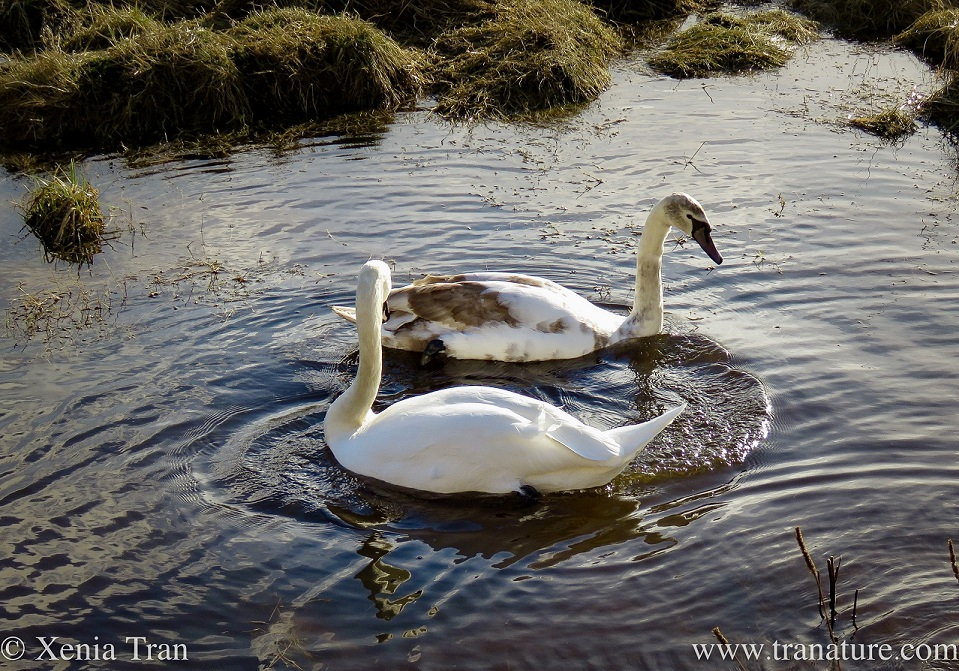 a swan parent and cygnet in the river