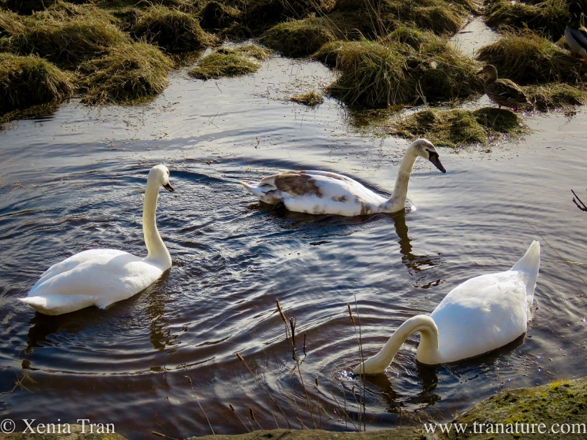 two swan parents in the river with their eight-month old cygnet