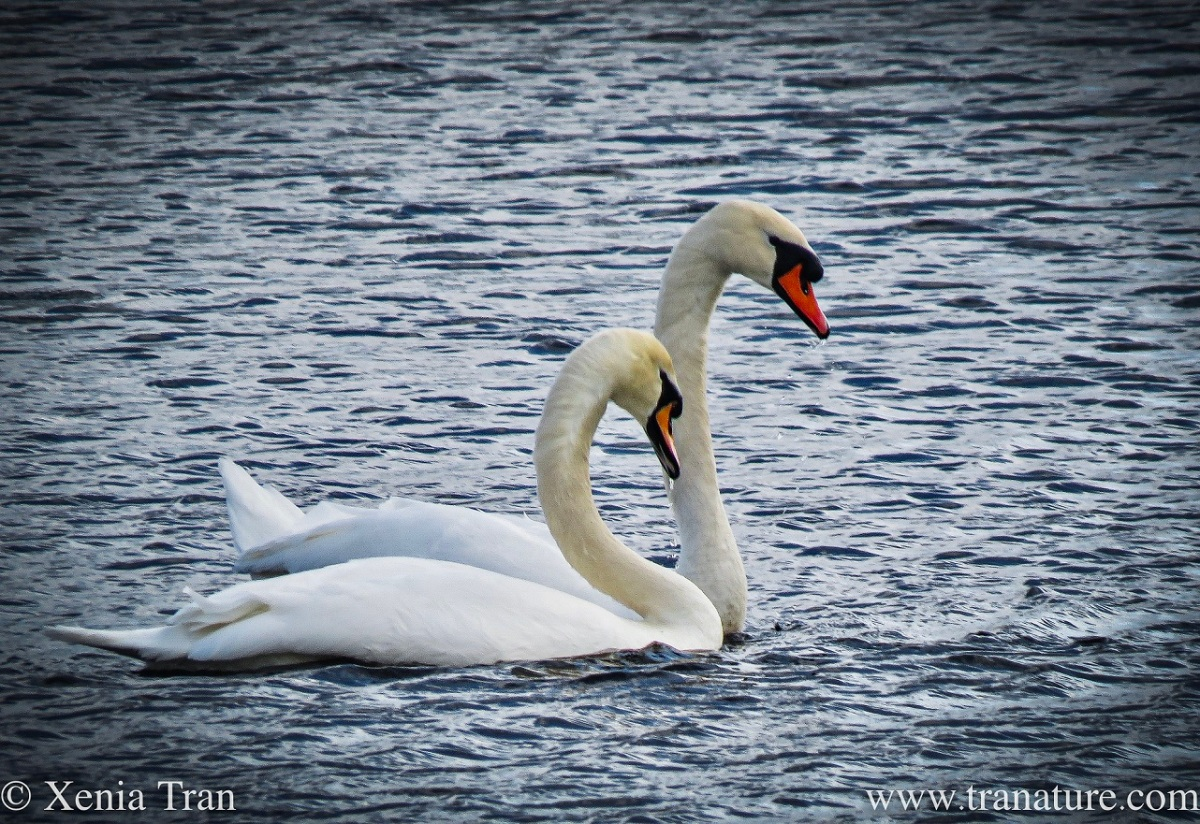 Silent Sunday: Swan Love