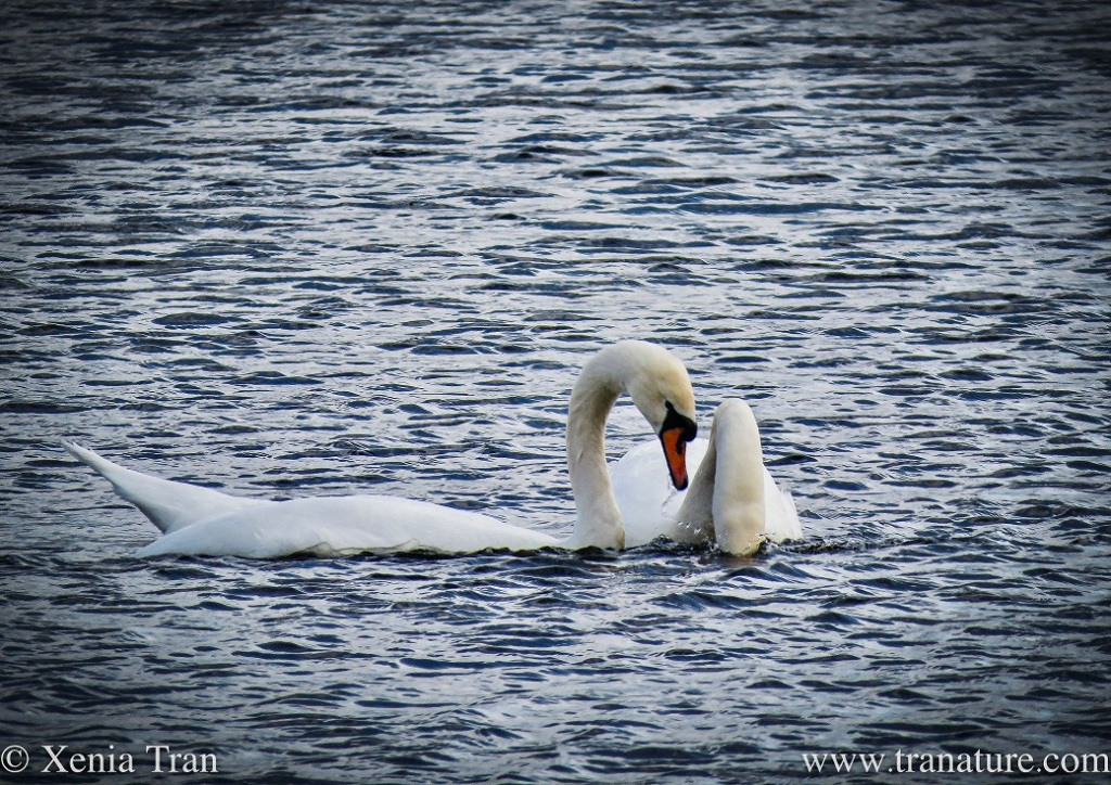 a pair of swans bonding with the cob dipping under water