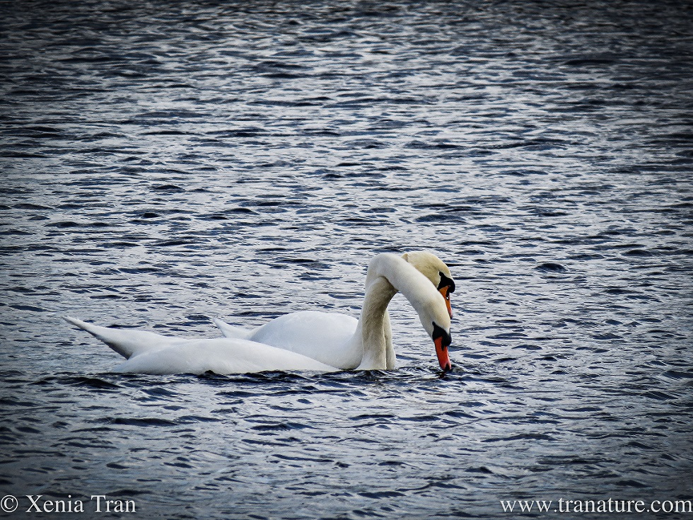 a pair of swans bonding with their necks entwined